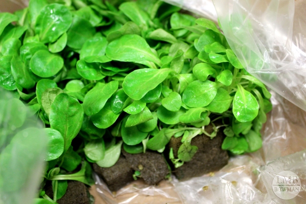 These mache greens are hydroponically grown so they ship in a box with soil. They are so delicate and fragile that to prepare them we cut the leaves off the top and avoided washing them.  Just a small amount of water pressure would damage them.